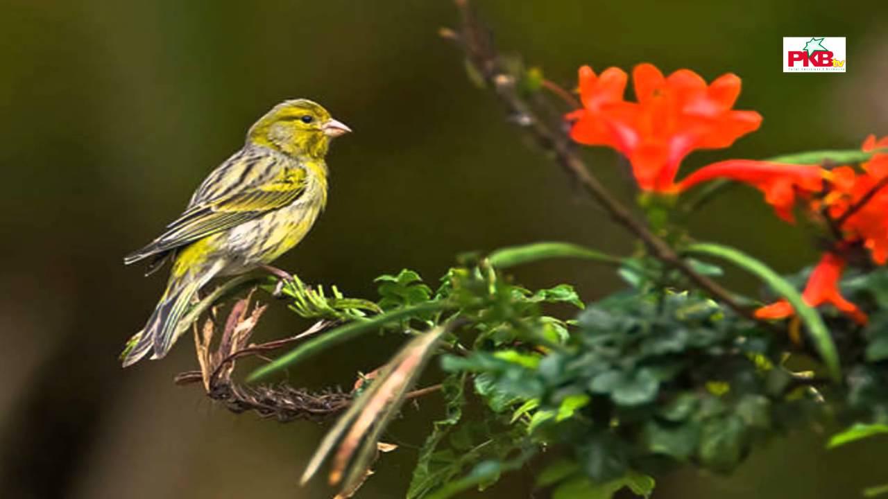 Khasiat Bawang Putih Untuk Burung
